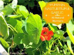 Pumpkin Soup, Garlic & Nasturtium - Natural Wormers ~ Fresh Eggs Daily