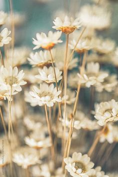 White Flowers by lumina | Stocksy United
