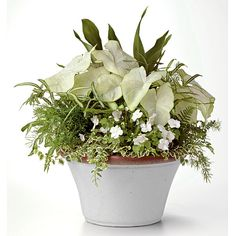 cast-iron plant, 'Moonlight' caladiums,                                      'Dazzler White' impatiens, silver ribbon fern, asparagus fern, Korean rock fern, and variegated creeping fig.