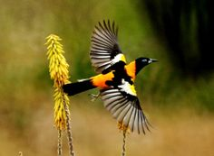 Turpial - National Bird of Venezuela