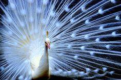 アルビノ孔雀の神々しさ半端ない on Twitpic - ツイナビ・Twitter 公式ナビゲーター