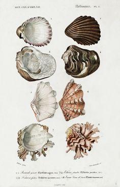 Nature Illustration, Botanical Illustration, Free Collage, Drawing Sheet, Free Printable Art, Watercolor Sketch, Shell, Free Illustrations, Artist Art