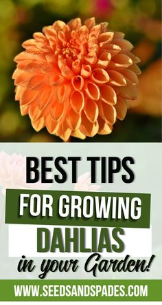 Whether it's their gorgeous variety of rainbow shades or the oversized, can't-miss-it blossoms, dahlias definitely command attention! Today, you'll learn about the dahlia's background and what makes it such a special addition to your flower garden. You'll also discover how to grow dahlias from a humble tuber, and what pests you may have to contend with. Finally, we'll answer some common questions about dahlia care. Let's jump in! #dahlias #growdahlias Growing Plants Indoors, Growing Vegetables, Planting Seeds, Planting Flowers, Organic Gardening, Gardening Tips, Dahlia Care, Growing Dahlias, Different Types Of Flowers