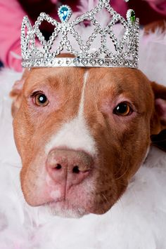"""Yea, so going to attack you. """" Look out its a Pitt Bull wearing a tiara. RUN!"""""""