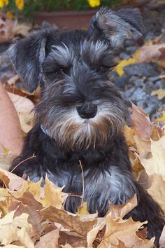 Aww what a darling Minature Schnauzer  puppy and her name is 'Hazel'.  Just look at those long, dark lashes!  Beautiful.