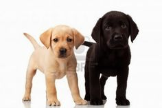 Aquí, fotos de cachorros labradores
