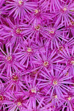 Pink mesem flowers, Mesembryanthemum sp., Namaqualand National Park, South Africa