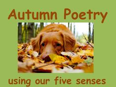 This poetry resource encourages your pupils to use their 5 senses to write an autumn poem. It consists of a complete lesson plan - including starter, e. Autumn Poem, Diary Writing, Teaching Resources, Literacy, Poems, How To Plan, Poetry, Verses, Poem