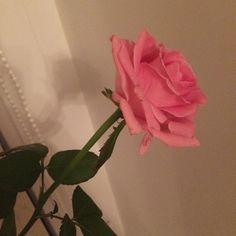 #rose #роза #pink