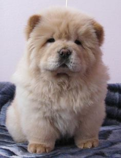 Chow Chow, luv luv the look of these dogs