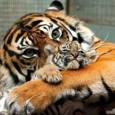 Tiger Mommy & Her Baby