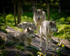 Three Eastern Timber Wolves Pack stock photo