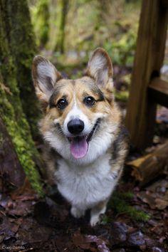 #corgi #puppy #cute #smiles