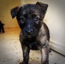Duch sheperd puppy