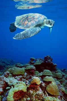 Turtle, Canary Islands