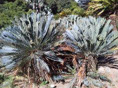 E.princeps  Kirsrenboch  April 2014 South Africa, Plants, Plant, Planets