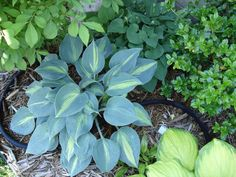 """Hosta """"touch of class"""" also look for """"emperor blue"""", with textured bumpy leaves like small dots"""