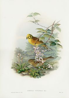 Emberiza Citrinella - Yellowhammer or Yellow Bunting from John Gould Birds Great Britain Plates & Spring Flowers Decoupage, John Gould, Bird Book, Cottage Art, John James Audubon, Feather Art, Botanical Drawings, Bird Illustration, Bird Drawings