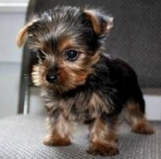 Teacup Yorkie Puppies Cheap teacup yorkie puppies for sale yorkies . Yorkie Puppies For Adoption, Maltipoo Puppies For Sale, Tiny Puppies, Cute Puppies, Cute Dogs, Yorkies, Mini Yorkie, Teacup Yorkie, Animals And Pets