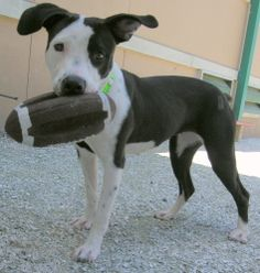 111 Paris is an adoptable Pit Bull Terrier Dog in Largo, FL. Paris loves to play. She is about 1 year and 48 pounds. Adoption Fees are $25 in May. This includes spay/neuter, shot series, internal and ...