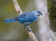 Azure-shouldered Tanager_Thraupis cyanoptera