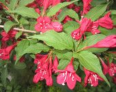 Plant Weigela, 2 Plant cutting, weigela bush, Flower, pink flower