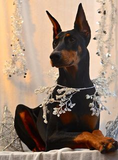Beautiful photograph of a magnificent doberman.
