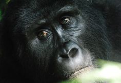 Mountain Gorilla, Bwindi - Photo by Weeden
