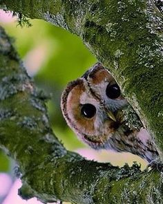 Peek-a-boo! Cute little owl peeking through a fork in the tree branch. Beautiful Owl, Animals Beautiful, Beautiful Pictures, Pretty Birds, Love Birds, Strix Aluco, Animals And Pets, Cute Animals, Owl Pictures