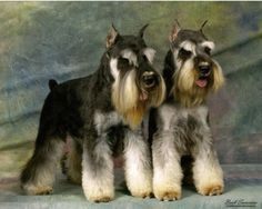 Known for his distinguished, handsome appearance, the Miniature Schnauzer is characterized by its whiskers and double coat, which has a hard, ...
