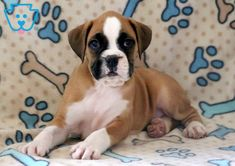 This socialized Boxer puppy loves to be around people so much that he will surely be your shadow once you get him home. He loves running & playing Boxer Puppies For Sale, Boxer Dogs, Pet Dogs, Dogs And Puppies, Boxers For Sale, Dog Hotel, Cute Animals, Animals Dog, Labrador Retriever Dog