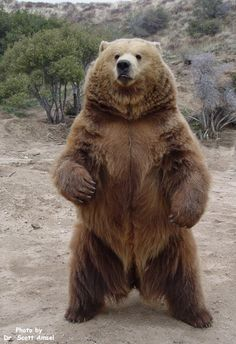 bear standing up - Google Search