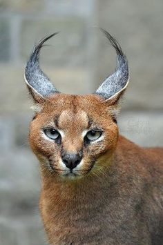 """The caracal is a medium sized cat which it spread in West Asia, South Asia, and Africa. The word Caracal is from Turkey """"Karakulak"""" which means """"Black Ears"""". Here is all about caracal as a pet. Nature Animals, Animals And Pets, Cute Animals, Beautiful Cats, Animals Beautiful, Big Cats, Cats And Kittens, Caracal Cat, Baby Caracal"""