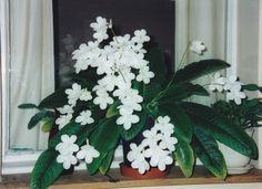Streptocarpus Information: How To Care For Streptocarpus Houseplants