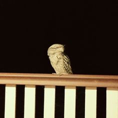 I received a visit from one of my favourite birds last night this gorgeous #frogmouth - but it also scared the crap out of me! He was just chilling out on the back patio looking like a shadowy ghost child's head in the dark until I turned on the light ... Doesn't help that I watched a horror movie last night! #australianfauna #nocturnal #bird #townsville #cackedmydacks