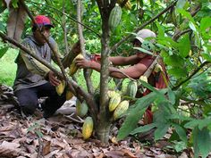 RD exporta 214 millones de dólares en cacao | NOTICIAS AL TIEMPO