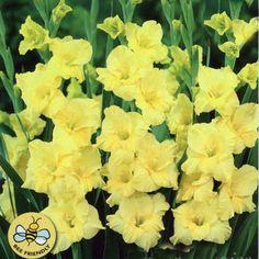Gladiolus 'Charisma'