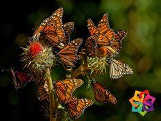 MICHOACÁN MÁGICO ¿Sabías que? Las mariposas monarcas están dotadas de un sofisticado sistema de navegación que contempla la altura del sol y el análisis de la luz que las orienta hacia el sur. Esta orientación es transmitida genéticamente, lo que les permite saber cómo llegar a la Reserva de la Biosfera Mariposa Monarca cada año, donde residieron sus antecesoras. EL Hotel El Carmen en Morelia se encuentra a solo 2 horas de este hermoso santuario. http://www.hotelelcarmenmorelia.com.mx/