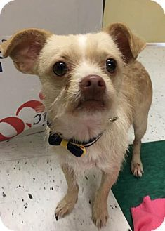 New York, NY - Wirehaired Fox Terrier/Chihuahua Mix. Meet Rudolph ...