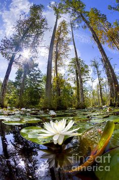 Lily Pad Flower in Cypress Swamp, Forest Cypress Gardens, Charleston, South Carolina by Dustin K. Ryan