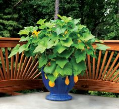 """Even squash looks great in this beautiful, blue planter. Learn how to grow easy vegetables that look great on your patio from the book """"Easy Container Combos: Vegetables  Flowers."""" See a free, 24 page sample of the book at www.pamela-crawford.com in the 'Books' section."""
