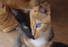 PawNation {Amazing coloring - like 2 separate cats joined together}