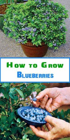 Grow blueberries in a large pot as they need the space to grow well 12 16 in diameter should suffice Blueberries grow well when planted together with strawberries. as the strawberries provide ground cover to keep the soil cool and damp (just how blueberri Diy Garden, Garden Care, Fruit Garden, Edible Garden, Garden Projects, Garden Landscaping, Fruit Plants, Veggie Gardens, Potted Garden
