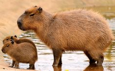capybara mother and babies. saw these at the San Diego zoo, so cute