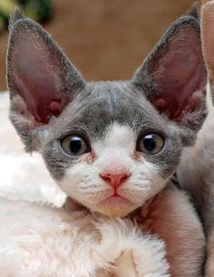 love this devon kitty's ears!