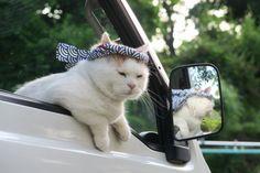 軽トラでねじりはちまき | のせ猫オフィシャルブログ Powered by Ameba