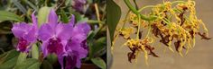 (L) Cattleye and (R) Dendrobium  The National Capital Orchid Society 66th Fall Show and Sale at Behnke Nurseries