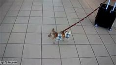 Tiny yorkie pulls big carry on suitcase . Gif Bin is your daily source for funny gifs, reaction gifs and funny animated pictures! Large collection of the best gifs. Animals And Pets, Funny Animals, Cute Animals, Yorkshire Terrier, Which Hogwarts House, Loyal Dogs, Cutest Thing Ever, Little Dogs, Small Dogs
