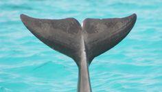 dolphin fluke - Google Search