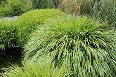 Hakonechloa macra - czysty gatunek (Chelsea Flower Show)